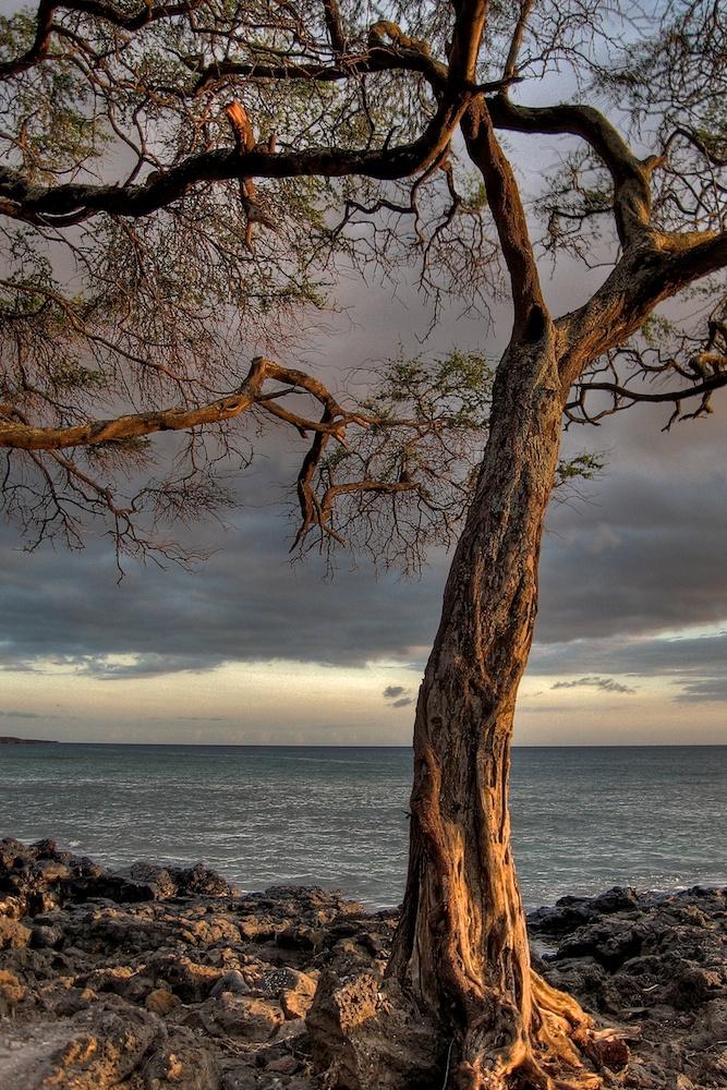 Maui_ahihi bay tree  IMG_1469_8_7